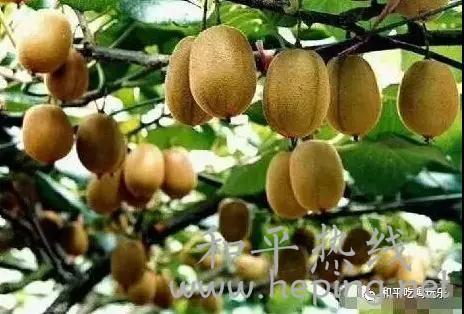 和平县猕猴桃